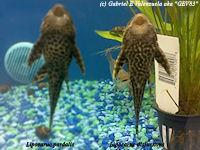 Bild 4: Liposarcus disjunctivus/Pterygoplichthys disjunctivus