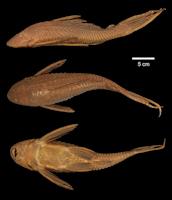 Bild 3: Liposarcus multiradiatus/Pterygoplichthys multiradiatus (L154)