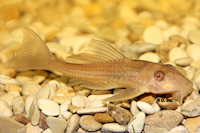 "Liposarcus pardalis ""albino"""