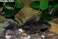 Bild 6: Liposarcus pardalis/Pterygoplichthys pardalis (L23)
