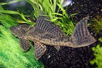 Bild 7: Liposarcus pardalis/Pterygoplichthys pardalis (L21)