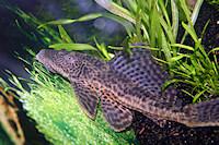 Bild 8: Liposarcus pardalis/Pterygoplichthys pardalis (L21)