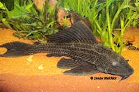 Liposarcus/Pterygoplichthys pardalis