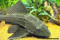 Bild 2: Liposarcus pardalis/Pterygoplichthys pardalis (L23)
