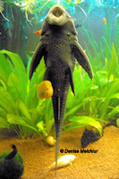 Bild 5: Liposarcus pardalis/Pterygoplichthys pardalis (L21)