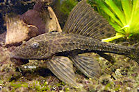 Bild 10: Liposarcus pardalis/Pterygoplichthys pardalis (L21)