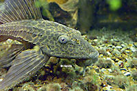 Bild 11: Liposarcus pardalis/Pterygoplichthys pardalis (L21)