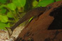 Lithoxus planquettei (L 44)