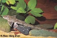 foto 4: Loricaria cataphracta