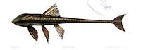 Bild 11: Loricaria cataphracta 1856