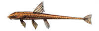 Bild 3: Loricariichthys castaneus