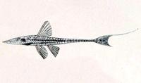 Loricariichthys hauxwelli, Holotype