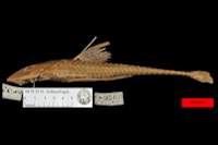 Loricariichthys