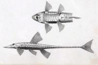 Loricariichthys nudirostris