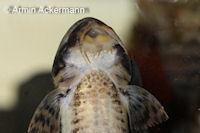 foto 98: Loricariichthys platymetopon