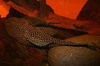 Bild 5: Megalancistrus parananus (L234)