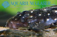 Bild 3: Micracanthicus vandragti/Hypancistrus vandragti (L280)