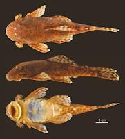 Bild 4: Neblinichthys peniculatus, female, paratypes, AMNH 91020, 78.8 mm SL
