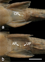 Bild 6: Detail of the ventral region of specimens of Neoplecostomus microps, showing the merged anal and urogenital pores (CP) in females (A), and the distinct anal pore (AP) and urogenital pore (UP) in males (B). Bar = 1 cm