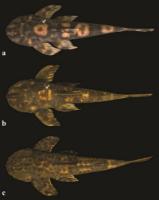 Bild 3: a) Neoplecostomus paraty, female b) Neoplecostomus paraty, male c) Neoplecostomus microps