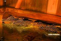 Bild 2: Oligancistrus punctatissimus/Spectracanthicus punctatissimus (L30)
