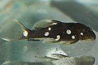 """Bild 6: Oligancistrus/Spectracanthicus sp. """"L391"""""""