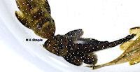 """Bild 10: Oligancistrus/Spectracanthicus sp. """"L391"""""""