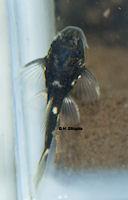 """Pic. 11: Oligancistrus sp./Spectracanthicus sp. """"L391"""""""