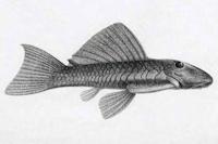Bild 3: Spectracanthicus/Oligancistrus punctatissimus - Type