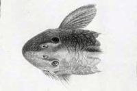 Bild 4: Spectracanthicus/Oligancistrus punctatissimus - Kopf