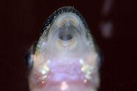 foto 110: Otocinclus macrospilus
