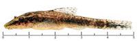 Pic. 3: Hisonotus marapoama