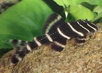 foto 3: Panaqolus albivermis (L204)