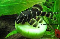 foto 7: Panaqolus albivermis (L204)