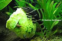 foto 8: Panaqolus albivermis (L204)