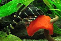 foto 9: Panaqolus albivermis (L204)