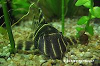 foto 11: Panaqolus albivermis (L204)