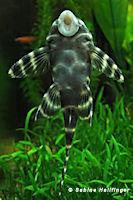foto 14: Panaqolus albivermis (L204)