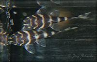 foto 20: Panaqolus albivermis (L204)