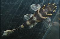 foto 21: Panaqolus albivermis (L204)