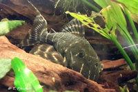 foto 16: Panaqolus albivermis (L204)