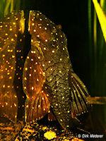 Bild 9: Panaqolus albomaculatus