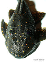 Bild 10: Panaqolus albomaculatus