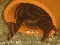 foto 19: Panaqolus claustellifer (L306 / LDA 64)