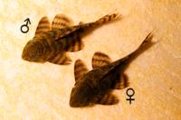 """foto 3: Panaqolus sp. """"L403"""" Männchen / Weibchen"""