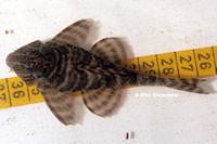 """Bild 35: Panaqolus sp. """"L403"""""""