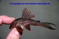 """Panaqolus cf. albomaculatus """"L426"""""""
