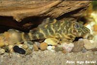"""Bild 2: Panaqolus sp. aff. maccus """"L448"""" / """"LDA 67"""""""
