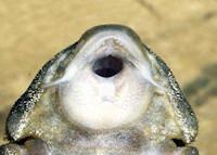 Bild 6: Panaqolus maccus (L162 / LDA 22)