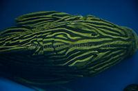 """Bild 2: Panaque cf. armbrusteri """"L27"""""""